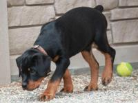AKC REG. ROTTWEILER MALE PUPPY - 3 MONTH OLD/ VET