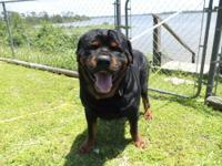 akc larg rottweiler male for sale 500.00 comes from