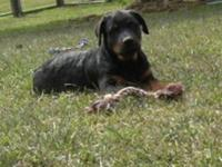 AKC REG. MALE ROTTWEILER 18 WEEKS OLD NEEDS A GOOD HOME
