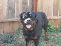 akc rottie pups. 3 boys 4 girls left. Beautiful little