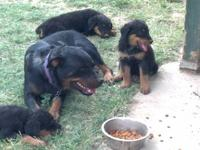 AKC Rottweiler puppies for sale 2 girls remaining All