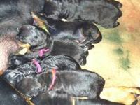 Clark Hollow Rotti's is proud to announce that Jersey &