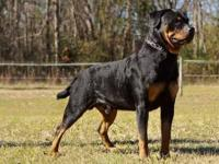AKC Rottweiler puppies from champion/import lines.