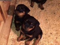 Abkc reg Rottweiler puppies with champion bloodlines