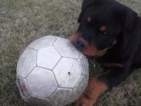 Trash of AKC Rottweiler puppies due June 7th. We are