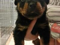 I have two lovely male Rottweiler puppies offered