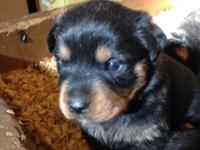 AKC signed up Rottweiler puppies for sale. Females