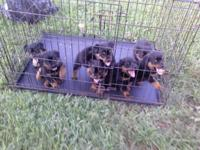 I have 3 male pups and 4 female BOTH AKC , 7 weeks old.