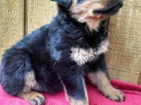 AKC Rottweiler Puppies $650 - $900