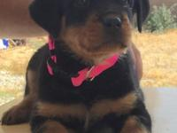 The Best looking German Rottweiler Puppies are here.