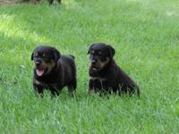 AKC German Rottweiler puppies for sale. Both females