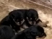 AKC Rottweiler Puppies, Born 8/3/2015, Parents on site.