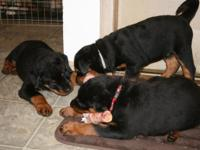 THREE TOP QUALITY MALE PUPS Their sire is an