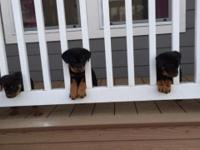 Quality Rottweilers, family raised in our home around