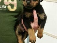 2 AKC Female Rottweiler Puppies. CH Bloodlines. Shots