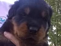 I have female AKC Rottweilers still available to go to