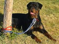 Rottweiler puppies due June 25th. Will certainly be