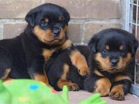 AKC rottweiler puppies for sale. 10 weeks old. We spend