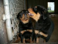 AKC ROTTWEILER PUPPIES FOR SALE GERMAN BLOODLINE LARGE