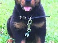 The AKC Rottweiler puppies are ready for shipment now!