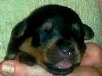 AKC Rottweiler puppies males and females dewclaws