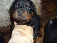 I have a women Rottweiler pup for sale. She was birthed