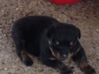 Born 05-01-2014. 1 Male. Champ Bloodlines. Tails