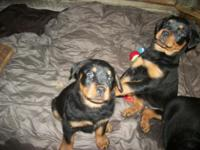ROTTWEILER PUPS AKC MULTI CH BLOODLINE LARGE PARENTS