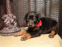 THREE NICE AKC FEMALES AVAILABLE $600 Parents on site,