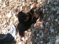 We still have 3 female Rott pups available. They were