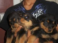 We have 3 beautiful Rott males that are still available