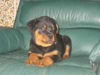 AKC Rottweiler Pups. 1 male and 5 females available.
