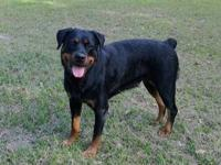 We have two beautiful AKC Rottweiler puppies available.