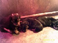 We have new puppies, off Angel, 90 lbs, and Rocky, 135