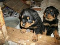 AKC Rottweiler pups males $850.00 AKC German