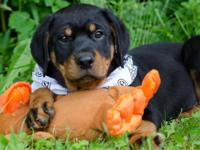 Two handsome male rotties 12 weeks utd on shots