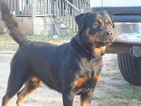 AKC GERMAN ROTTWEILER PUPPIES 1 MALE LEFT TAILS AND DEW