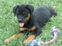 I HAVE 4 FEMALE ROTTWEILER PUPPIES PRICE IS 450.00 AND