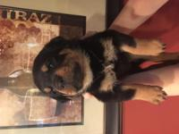Female Purebreed rott for sale. She will come with