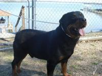 akc rottweiller puppies comes from huge champoin blood