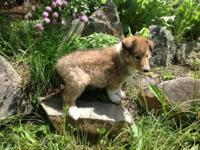 We have rough and smooth collie puppies available to go