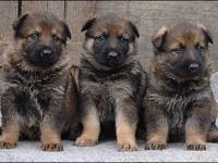 Akc german shepherd puppies, sable color, vaccines up