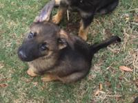 Last sable female, 8 weeks old and ready to go! AKC