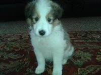 I am a sable male sheltie. I was the biggest of my