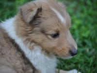 Chase AKC - Sable Merle Sheltie (Male) This is Chase,