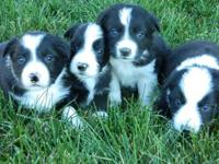 10 week old Sable Rough collie male puppies, ready for
