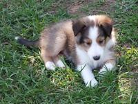 Blake - AKC Sable Sheltie ** Sold ** This little Sable