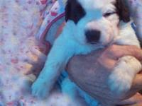 Akc Saint Bernard Puppies. See Our Website For All