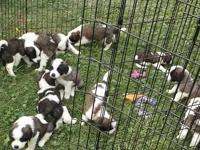 We have a litter of AKC registered Saint Bernard