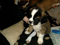 My akc saint bernard Mia just had a litter of 9